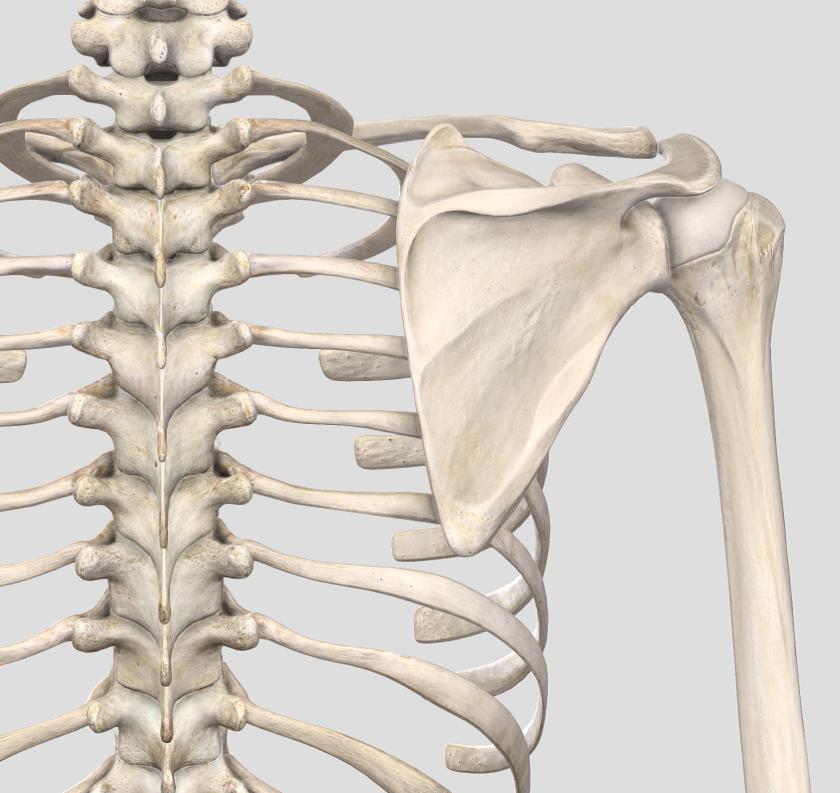 肋骨の整列