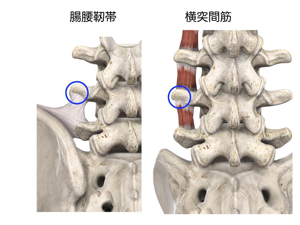 腸腰靭帯 横突間筋
