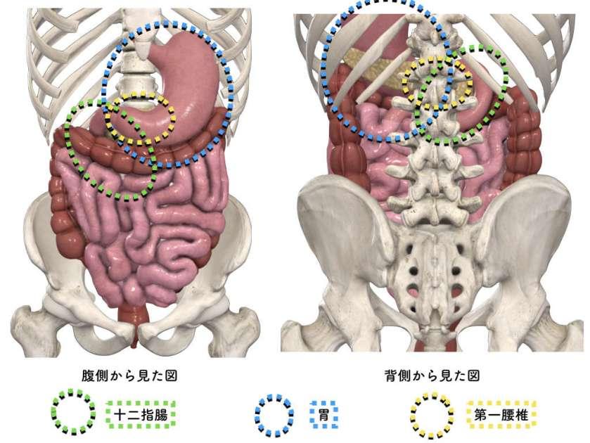 胃十二指腸 第一腰椎