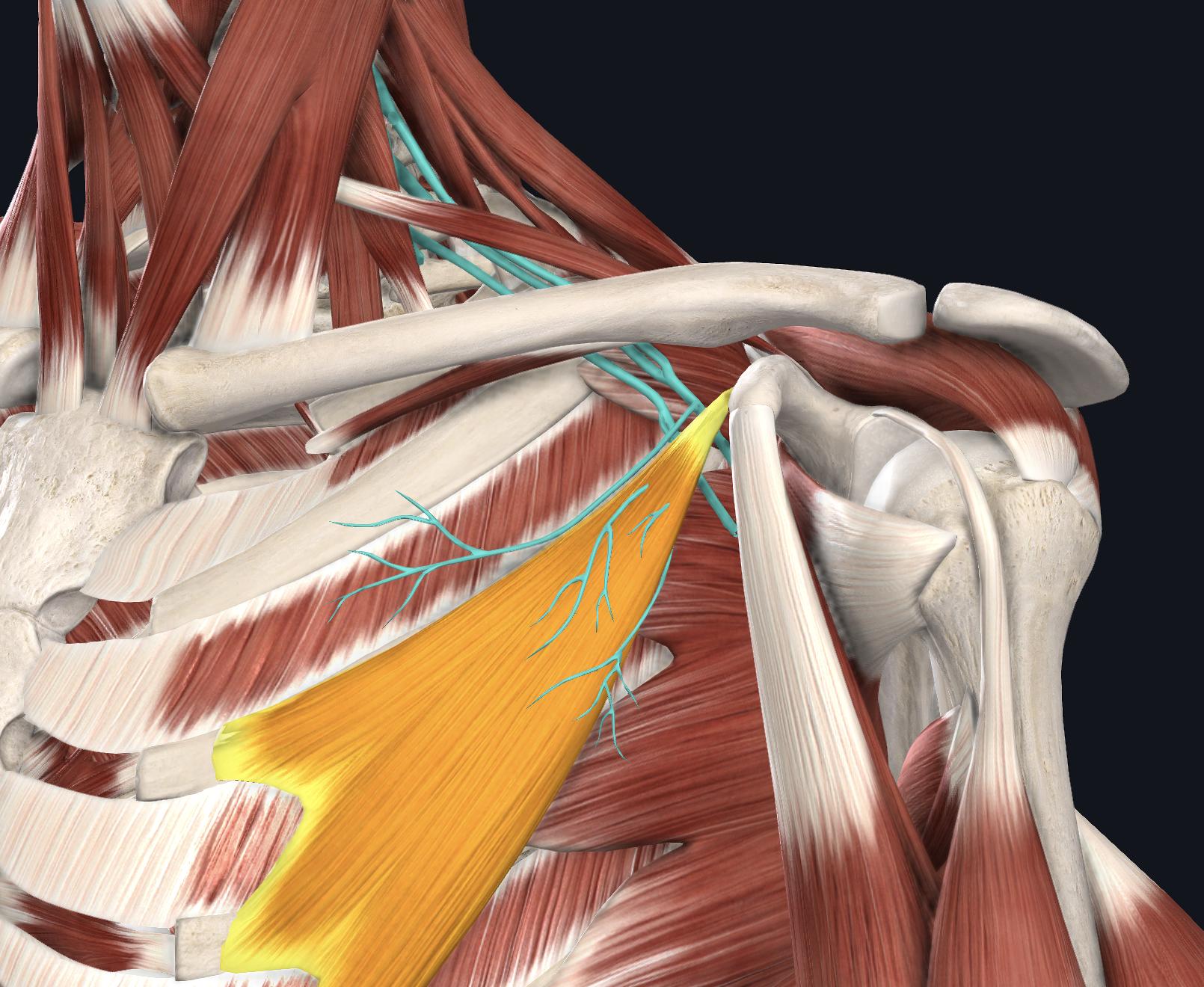 小胸筋 神経の圧迫