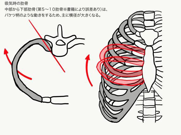 吸気時中部肋骨