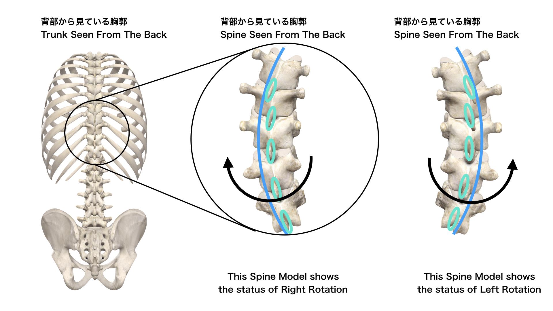 胸椎の回旋モデル