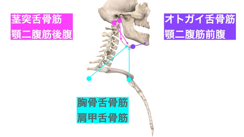 舌骨に付着する筋肉