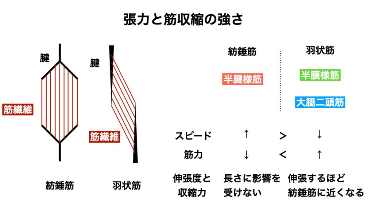 内側半月板損傷 仙腸関節の関連 東京都港区にしむら治療院/さいたま市アギトス鍼灸整骨院