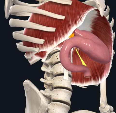 トライツ靭帯 十二指腸