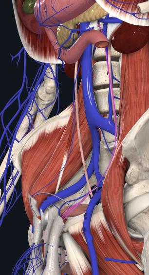 左精巣(卵巣)静脈
