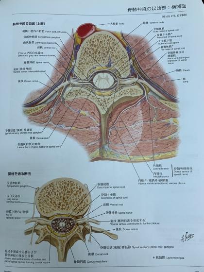 神経節の解剖学的位置
