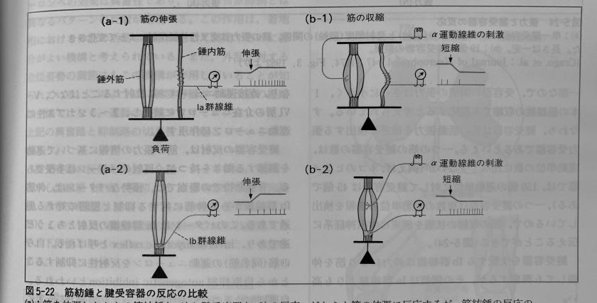 筋紡錘・腱紡錘の反応