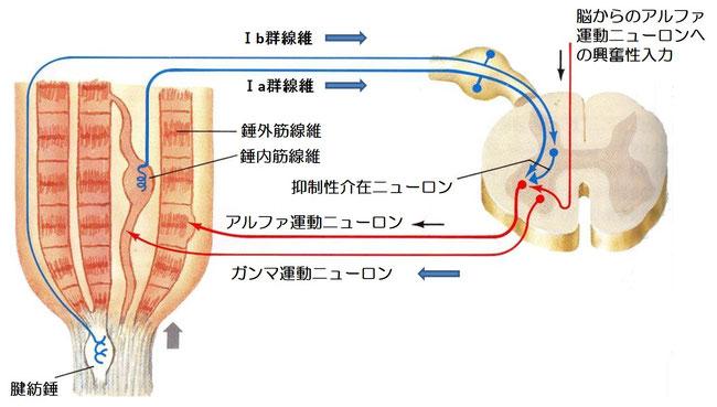 足の震えによる歩行障害 不随意運動に対する治療 東京都港区にしむら治療院/さいたま市アギトス鍼灸整骨院