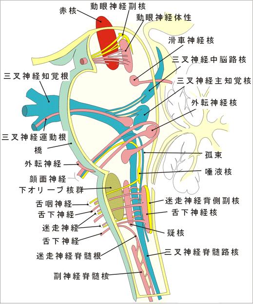 側頭骨と後頭骨の調整 肩こりや全身の症状に効果あり